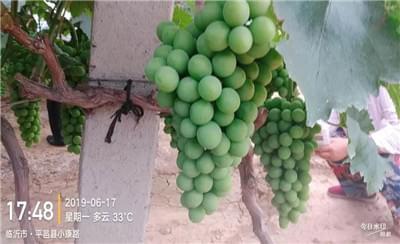 葡萄果面药剂残留和葡萄大小粒,北农华教您处理方法