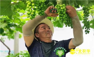 从葡萄健康栽培与健康植保理念出发,重视葡萄种植水分管理