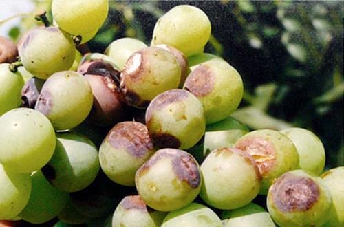 北农华提醒您:葡萄成熟期谨防葡萄炭疽病