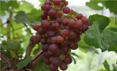 听葡哥王辉老师讲:葡萄转色期间阴雨天气葡萄存在的潜在风险
