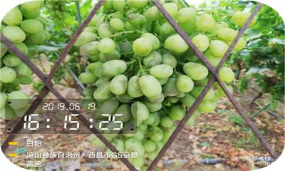 北农华:葡萄转色成熟期的病虫害防治