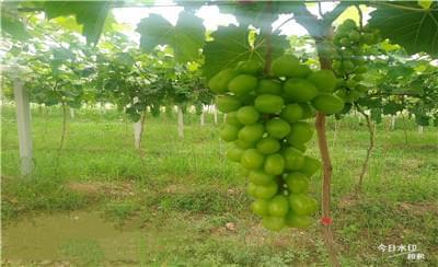 葡萄成熟期,葡萄水分管理要做好