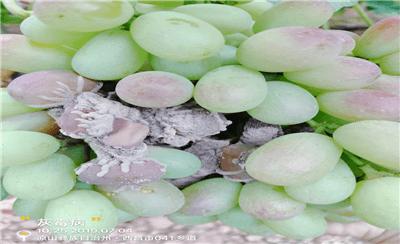 葡萄转色成熟期,遇到葡萄灰霉病该怎么防?