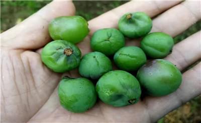 葡萄套袋即将成熟,葡萄果实霜霉病怎么处理?