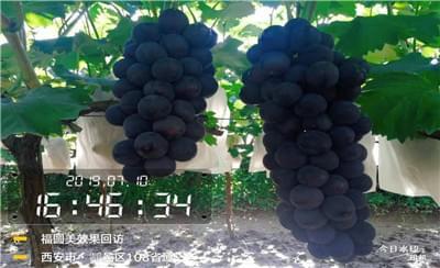 福圆美葡萄套袋药使用回访——户县