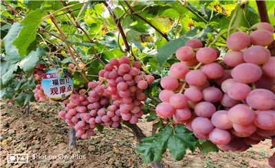 助力陕西大荔葡萄持续健康发展,北农华人一直在努力