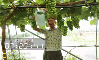防治葡萄病虫害很难吗?看北农华示范园王哥怎么防