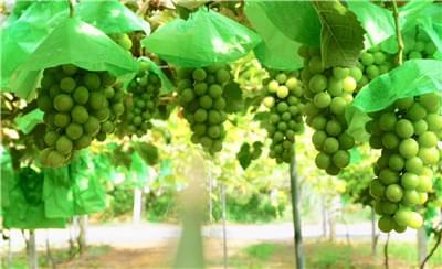 优质阳光玫瑰葡萄该怎么种植?北农华与你分享总结经验