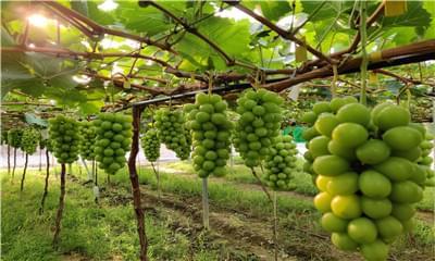 阳光玫瑰葡萄该怎么科学定植,葡萄健康栽培技术教给你