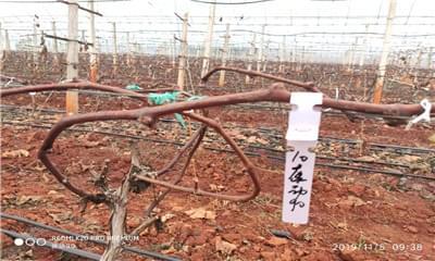 葡萄根系的生长规律,葡萄根系的管理要点有哪些?
