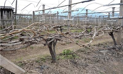 葡萄树整形修剪最优攻略:给葡萄树修剪的优势和方法