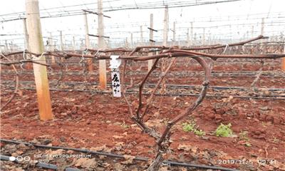 云南建水根系生长试验:康动90葡萄根系萌发第一步