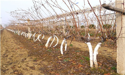 葡萄产量少一半,怪你当初不冬灌!果园不冬灌,受冻又受旱