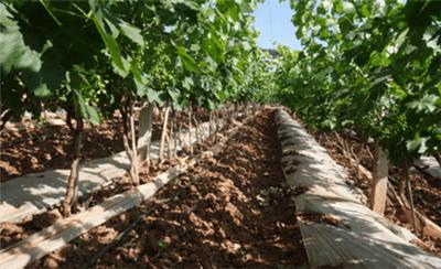 【实地考察】云南地区葡萄种植问题汇总,看北农华调研结果