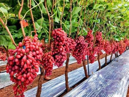 西昌克瑞森葡萄种植,葡友对照一下自己田地