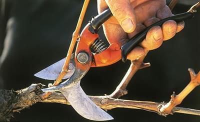 葡萄为什么要冬剪?葡萄冬剪需要注意什么?这些要点不能忽视!(二)