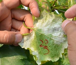 葡萄霜霉病防治方法
